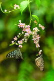 Tiger Butterflies vítreo azul em um jardim Fotografia de Stock Royalty Free