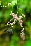 Tiger Butterflies vitreux bleu dans un jardin Photographie stock libre de droits