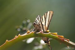 Tiger Butterfly. A Tiger Butterfly seated on a plant branch Stock Images