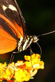 Tiger Butterfly stock images
