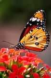 The Tiger Butterfly Stock Image