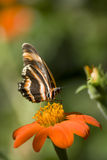 Black and orange butterfly on tithonia Royalty Free Stock Photo