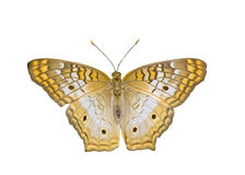 Tiger Butterfly. An isolated tiger butterfly with antennas stock photos