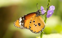 Tiger Butterfly royaltyfri foto