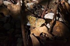 Tiger Butterfly Royaltyfri Bild