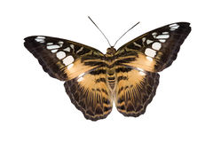 Tiger butterfly Stock Photos
