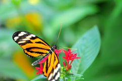 Tiger butterfly in aviary in Florida Royalty Free Stock Image
