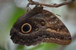 Tiger Butterfly. Butterfly blending into the branch camouflage stock images