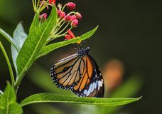 Tiger butterfly Royalty Free Stock Photo