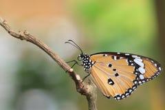 TIger Butterfly común Foto de archivo libre de regalías