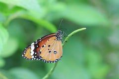 TIger Butterfly común Fotografía de archivo libre de regalías