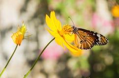 Tiger Butterfly común (genutia del Danaus) Fotos de archivo libres de regalías