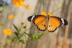 Tiger Butterfly común (genutia del Danaus) imagenes de archivo