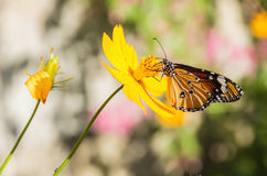 Tiger Butterfly commun (genutia de Danaus) Photos libres de droits