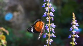 Tiger butterfly danaus genutia on flower. Tiger butterfly on flower shot with a Sony a6300 fps29,97 4k stock footage