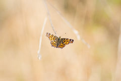 Tiger butterfly. Detail photographed at flowering in nice spring day Stock Photography