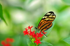 Tiger butterfly, Florida Stock Images