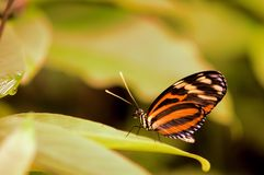 Tiger butterfly on green leaf Royalty Free Stock Photos