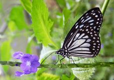 Tiger Butterfly India bleu Photographie stock