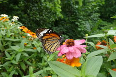 Tiger butterfly on the pink flower. At Doitung flower garden Stock Photos