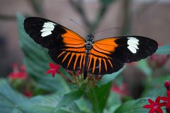 Tiger butterfly and red flowers royalty free stock photography