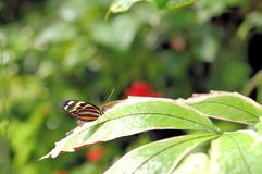Tiger butterfly, South Florida Royalty Free Stock Photos
