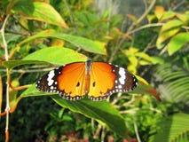 Tiger Butterfly Thailand común Imagen de archivo libre de regalías