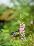 Tiger Butterfly vítreo amarelo em um jardim fotos de stock