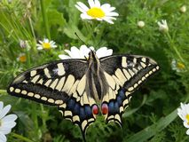A tiger Butterfly on white flower and beautiful view. Stock Images