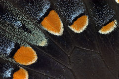 Tiger Butterfly Wing Stock Image
