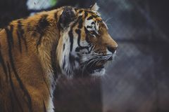 Tiger side headshot royalty free stock photography