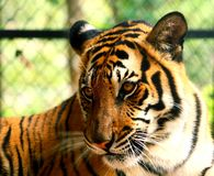 Tiger in cage stock photography