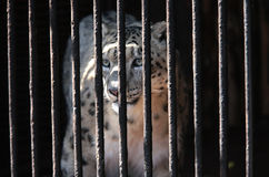 Tiger in a cage Royalty Free Stock Photo