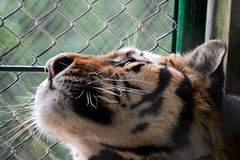 A tiger in a cage Stock Photo