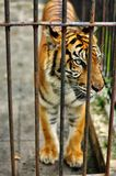 Tiger in a cage stock images