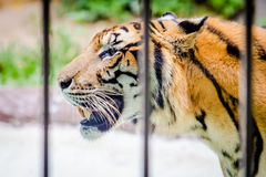 Tiger in a cage Royalty Free Stock Images