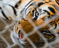 Tiger in cage Stock Image