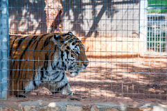 Tiger in cage Royalty Free Stock Image