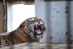 Tiger in a cage Stock Photos