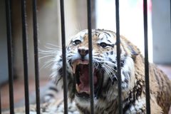 Tiger in a cage Stock Photo