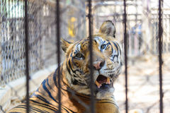 Tiger in cage of the zoo. Big cat tiger, Concept: protection of animals royalty free stock images