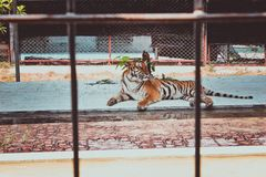 Tiger in a cage at the zoo Royalty Free Stock Image