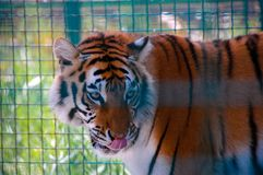 Tiger in a cage in zoo. Tiger sit in a cage in the zoo in the day Stock Photos