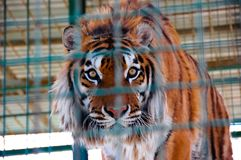Tiger in a cage in zoo. Tiger sit in a cage in the zoo in the day Royalty Free Stock Image