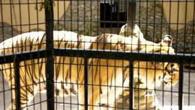 Tiger in the cage at the zoo. Slow motion footage stock footage