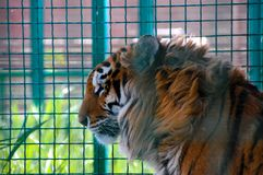 Tiger in a cage in zoo. Tiger sit in a cage in the zoo in the day Royalty Free Stock Photos