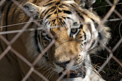 Tiger caged Royalty Free Stock Photography