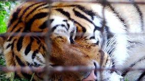 Tiger in captivity Royalty Free Stock Photos