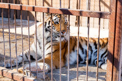 Tiger in captivity in a zoo behind bars. Power and aggression in the cage. Tiger in captivity in a zoo behind bars. Power and aggression in the cage Royalty Free Stock Image