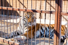 Tiger in captivity in a zoo behind bars. Power and aggression in the cage. Tiger in captivity in a zoo behind bars. Power and aggression in the cage Stock Images